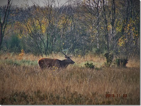 red deer Chasewater 2013 (2)