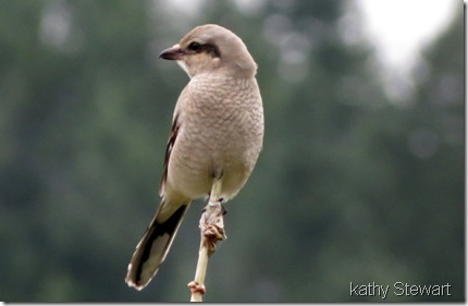 First Winter Northern Shrike