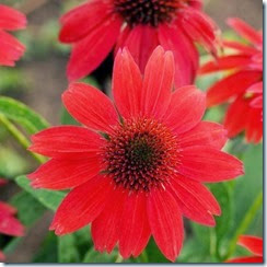 flores vermelhas foto