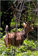 _P6A2083_cheetal_chital_deer_mudumalai_bandipur_sanctuary