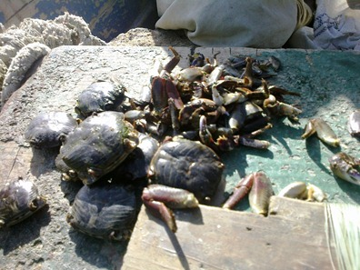 Preparing Bait using Rock Crab