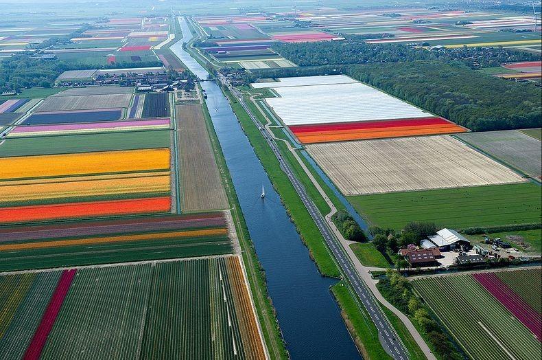 tulip-field-1