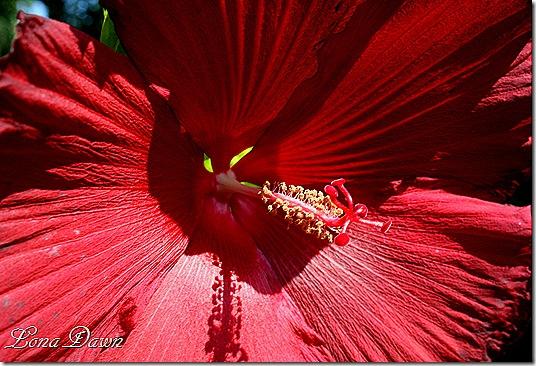 Hibiscus_LordBaltimore_Aug30