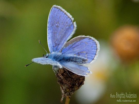butterfly_20110729_blue4
