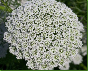 Queen-anne-lace