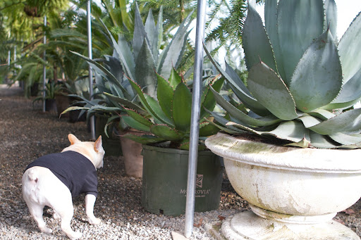 Look at the many varieties of agave we have here in the tropical greenhouse.  Tomorrow, let's visit Ryan in the main greenhouse because he told me he was going to repot some of the smaller agaves he keeps there.