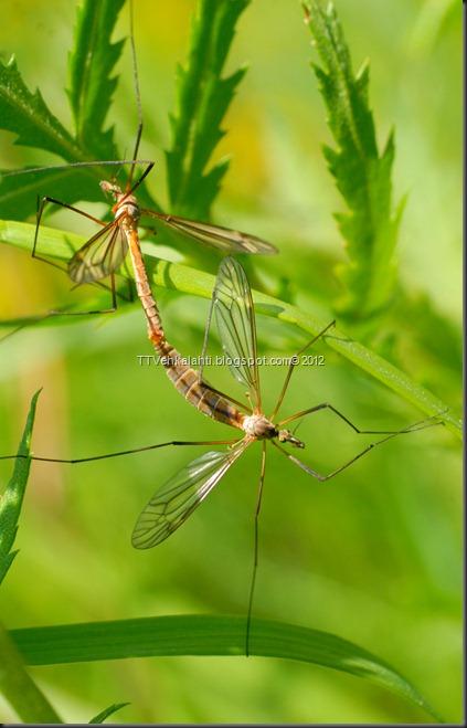 hyönteisiä, ötököitä, parittelua 096