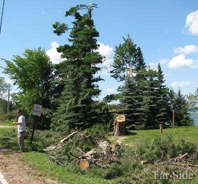 Pine Trees down