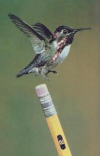 أصغر طائر في العالم
