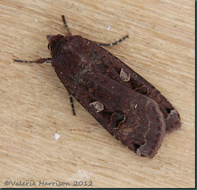Large-Yellow-Underwing-5