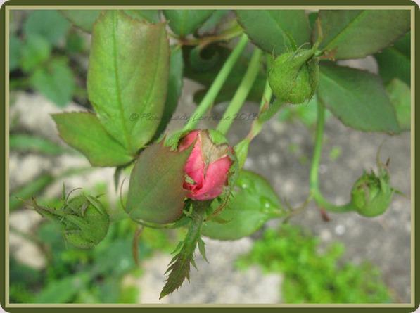 05-29-unkn-rose3