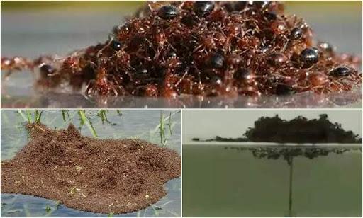 http://bigcendol.blogspot.com/2013/11/cara-semut-menyelamatkan-diri-dari-banjir.html
