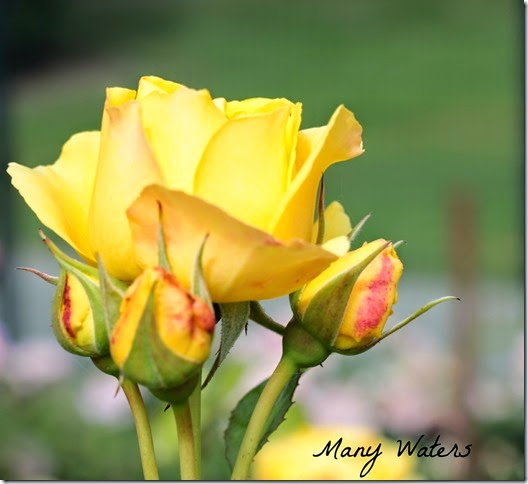 Many Waters Mommy Rose