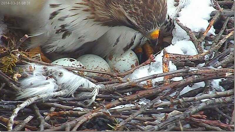 redtail3eggs 14