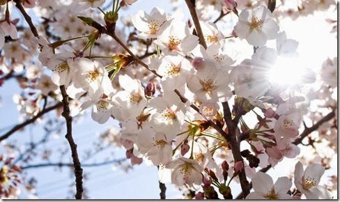 風にそよぐ(桜)