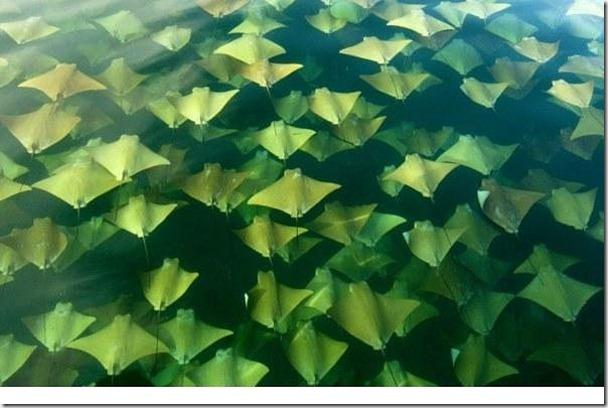 每年兩次的墨西哥灣魟魚大遷徙,發生在每年的春天及秋天。