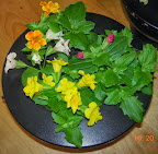 5 week mimulus in bloom - actually bloomed at 4.5 weeks! using 1-part inorganic nutes