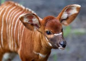 Amazing Pictures of Animals, photo, Nature, exotic, funny, incredibel, Zoo, Western or Lowland bongo, Tragelaphus eurycerus eurycerus, Mammals, Alex  (3)