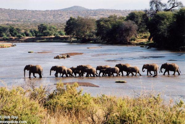 Elephant herd in Kenya. It's estimated that around 25,000 elephants were killed by poachers in 2011, though the number could be even higher. Photo: Rob Roy / mongabay.com
