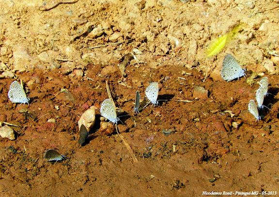 Hemiargus hanno (STOLL, 1790). Pitangui (MG, Brésil), 22 mai 2013. Photo : Nicodemos Rosa
