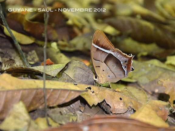 Antirrhea philoctetes (LINNAEUS, 1758). Saül, novembre 2012. Photo : M. Belloin