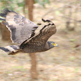 I think this is a mountain hawk-eagle