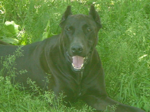 Canis Panthera 01
