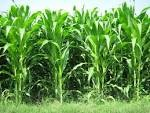 Cara bertanam jagung