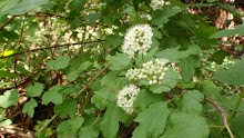 Physocarpuscapitatushna20120505 82