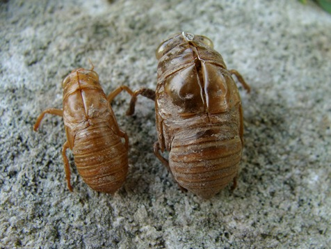 Magicicada and annual cicada shell side-by-side