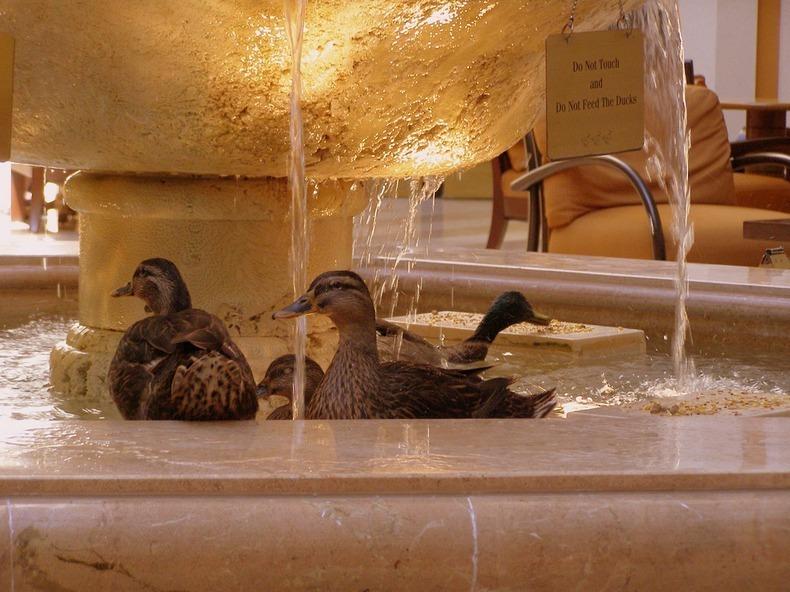 peabody-ducks-6