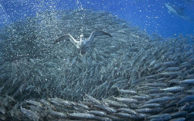 shark-and-mackerel-14