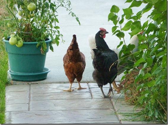 chicks 002