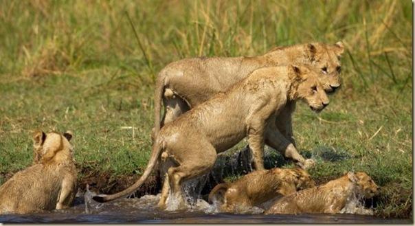 Le courage exeptionnel d'une lionne (9)