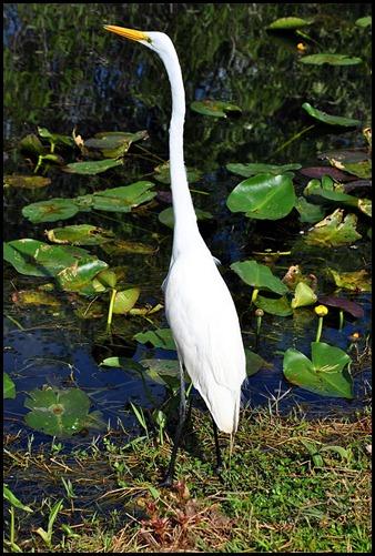 11 - Great White Egret