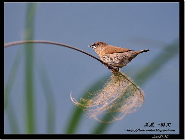斑文鳥(2010-01-31礁溪)9099