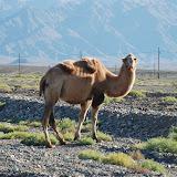 Tianshan - 1er chameau