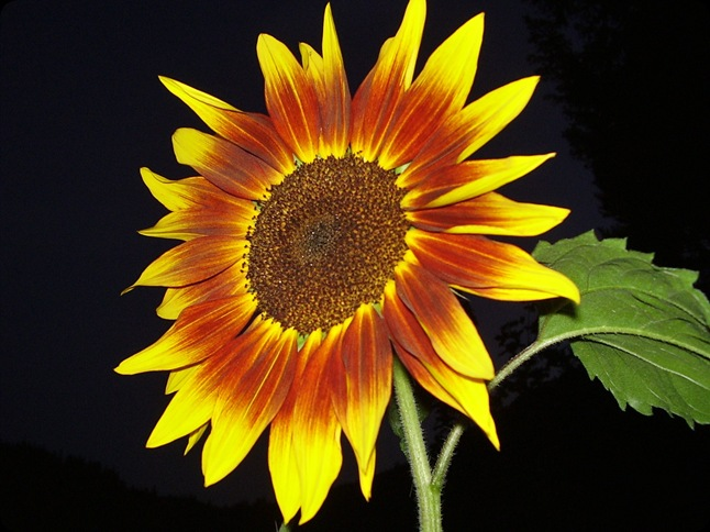sunflower ring of fire (4)