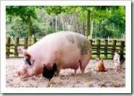 pig-on-farm