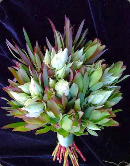 blushing bride 1157434_569200533138643_1090709062_n resendiz brothers protea growers