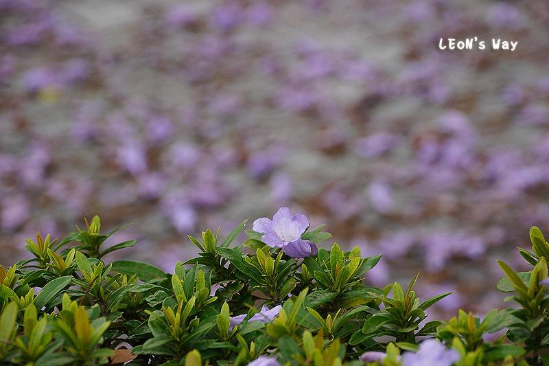 2013_0404 藍花楹_010