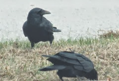 crow in grass2