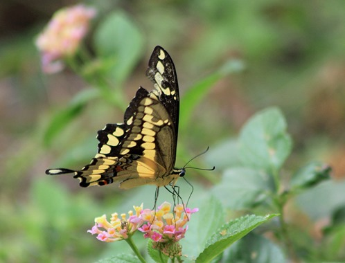 NBC Swallowtail 20132