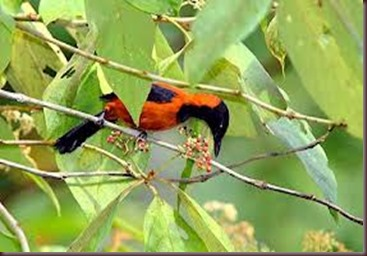 Amazing Pictures of Animals Pitohui Poisonous Bird. Alex (7)
