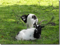 levens hall park goats 3