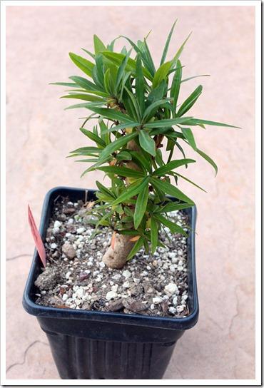120223_fy_Euphorbia-lambii