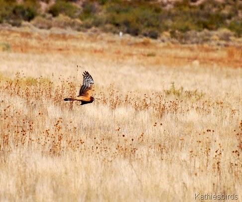 9. NOHA Bosque del apache-kab