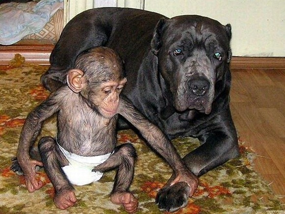 Chimpanzee Adopted By a Mastiff 021