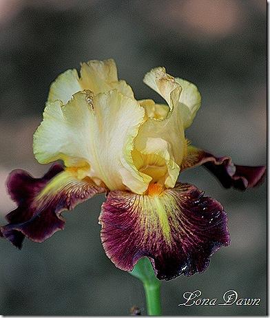 Iris_Jamaican_Dream2_May4