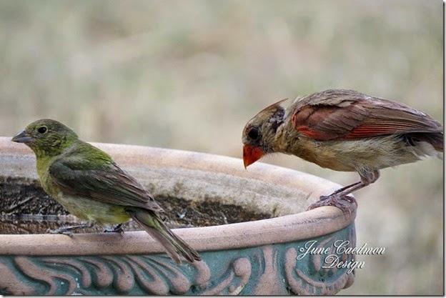 Cardinal_birdbath2